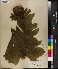Image of Centaurea babylonica