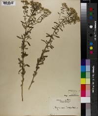 Image of Alyssum rostratum