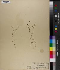 Apteria aphylla image