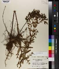 Hypericum pseudomaculatum image