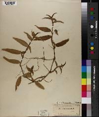 Commelina caroliniana image