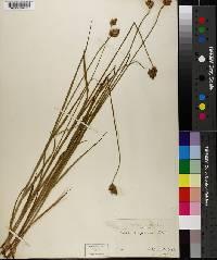 Carex scoparia image