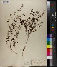 Image of Euphorbia arenaria