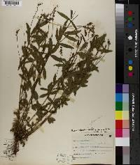 Psoralea psoralioides var. eglandulosa image