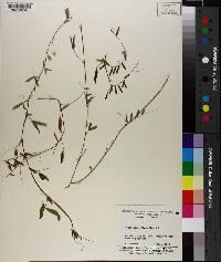 Vicia minutiflora image