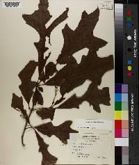 Quercus lyrata image