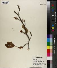 Hamamelis virginiana var. parvifolia image