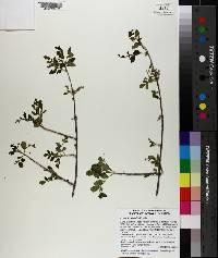 Fraxinus gooddingii image