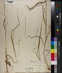 Image of Bothriochloa erianthoides