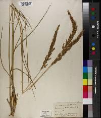 Image of Calamagrostis confinis