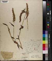 Image of Paspalum stoloniferum