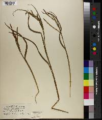 Paspalum plenipilum image