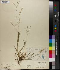 Axonopus obtusifolius image