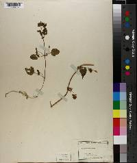 Fallopia dumetorum image
