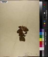 Cydonia oblonga image