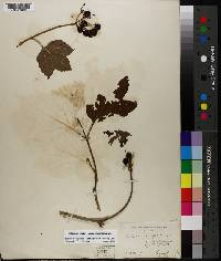 Viburnum opulus image