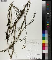 Solanum amygdalifolium image