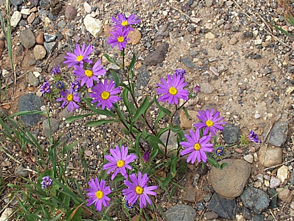Dieteria bigelovii var. commixta image