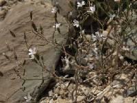 Image of Prenanthella exigua