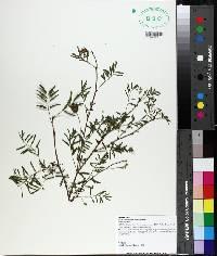 Mimosa roemeriana image