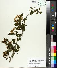 Crataegus viridis image