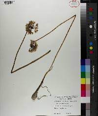 Allium stellatum image