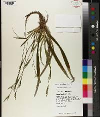 Carex laxiflora image