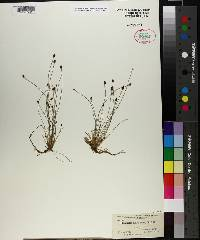 Eleocharis ovata image