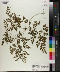 Lygodium japonicum image