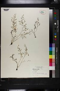 Selaginella cladorrhizans image
