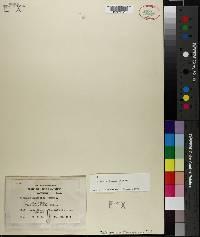 Image of Sphagnum henryense
