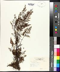Cheilanthes tenuifolia image