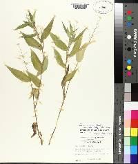 Panicum boscii var. molle image