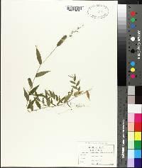 Oplismenus setarius image