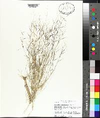 Aristida ramosissima image