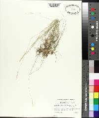 Danthonia spicata image
