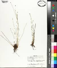 Eleocharis obtusa image