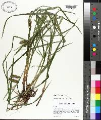 Carex lurida image