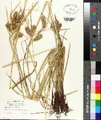 Carex lurida image