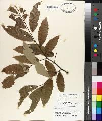 Castanea pumila var. ashei image