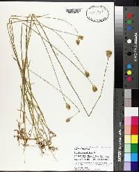 Dianthus prolifer image