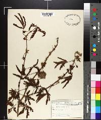 Mimosa pudica image