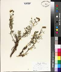 Dalea tenuifolia image