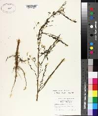 Sesbania herbacea image