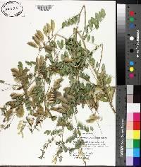 Image of Astragalus membranaceus