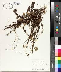 Galactia volubilis var. mississippiensis image
