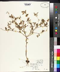 Croton monanthogynus image