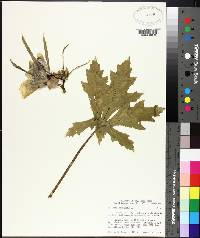 Hibiscus esculentus image