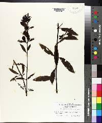 Aureolaria flava image