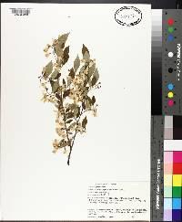 Styrax americanus image